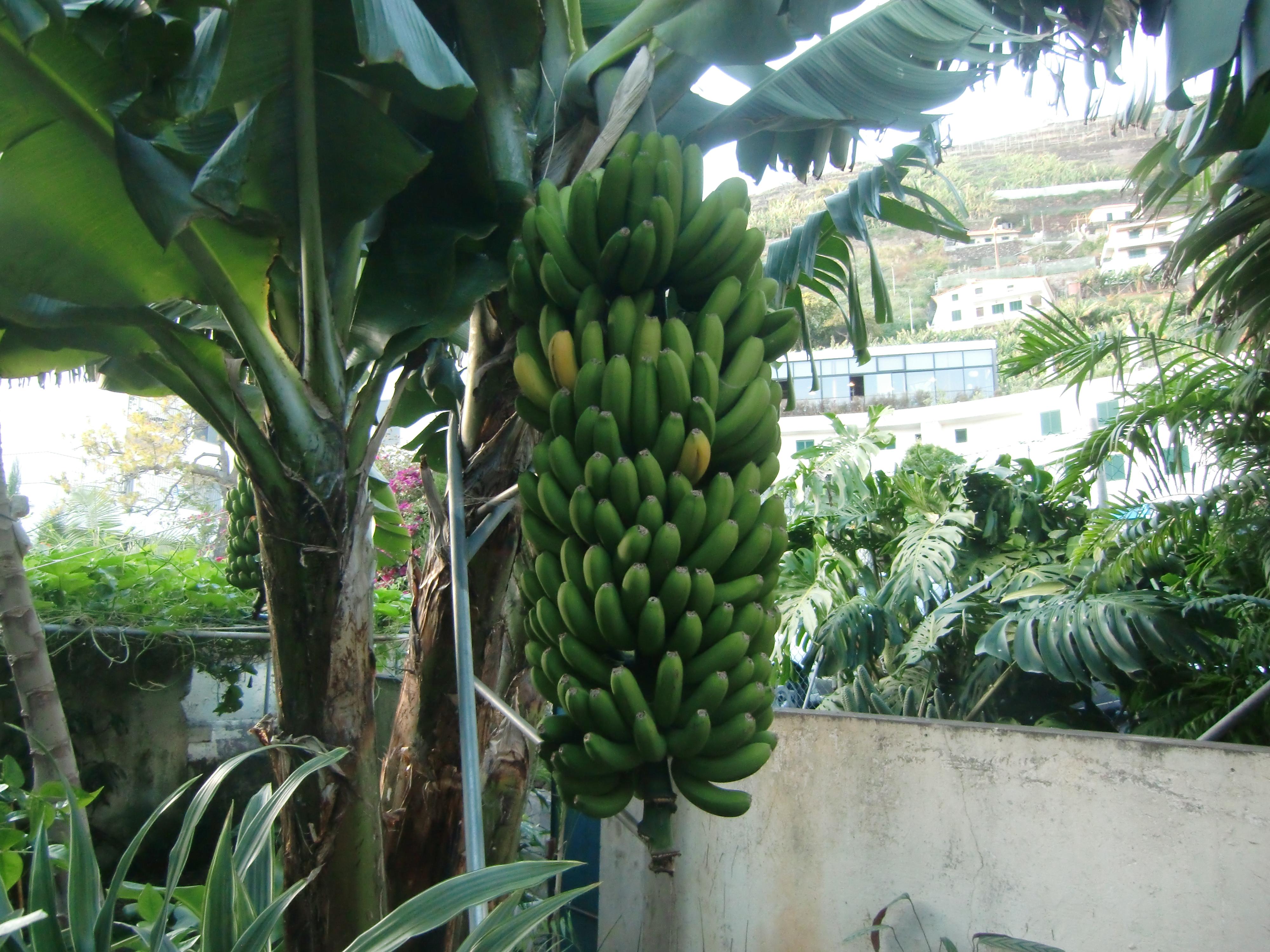 Estaca para bananeira