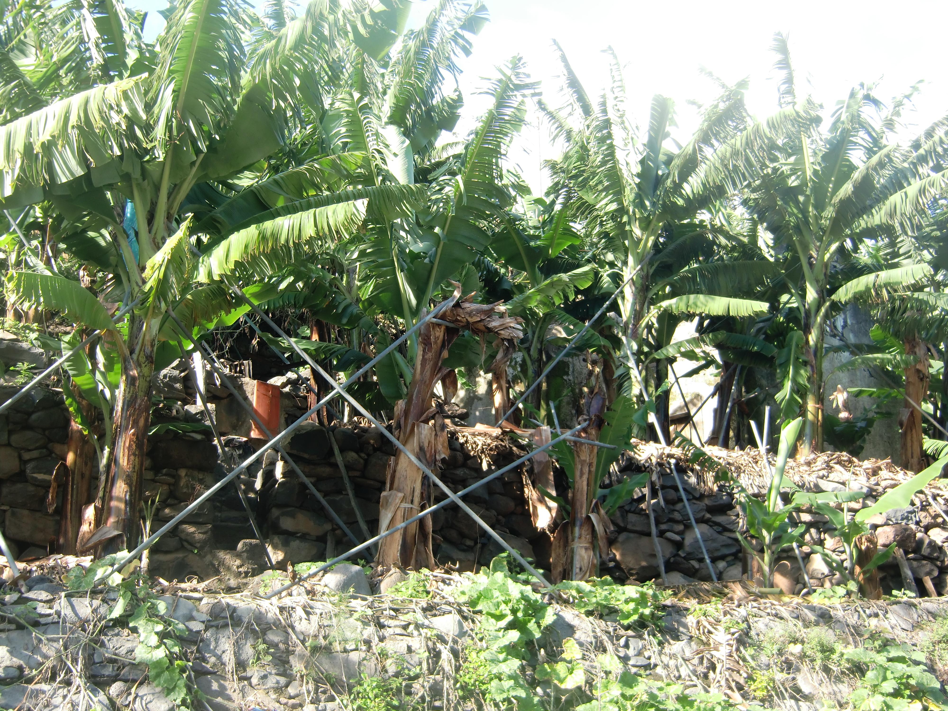 Estacas para bananeiras